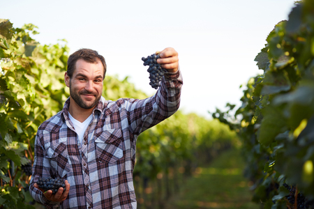 wineyard: Young winemaker in vineyard picking blue grapes Stock Photo