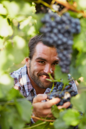 winemaker: Young winemaker in vineyard picking blue grapes Stock Photo