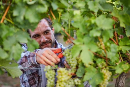 winemaker: Young winemaker harvesting green grapes in vineyard