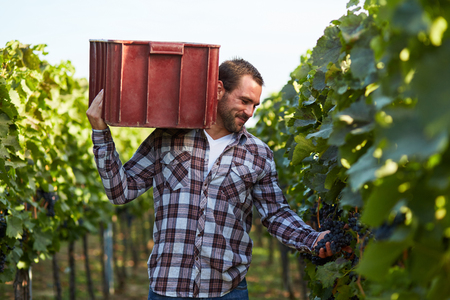 carries: Man carries a box on grapes at harvesting in the vineyard Stock Photo