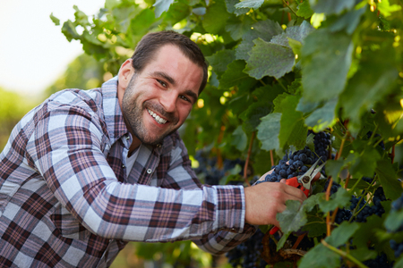 Happy winemaker harvesting blue grapes in vineyard