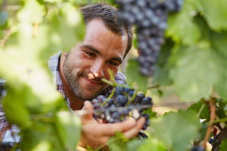 crop harvest: Young winemaker in vineyard picking blue grapes Stock Photo
