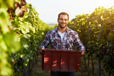 food plant: Farmer holding crate of grapes at harvesting in the vineyard, toned. Stock Photo