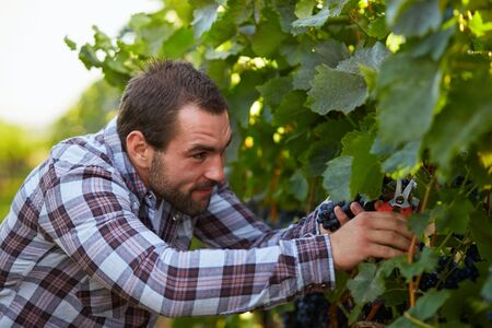crop harvest: Young winemaker harvesting blue grapes in vineyard Stock Photo