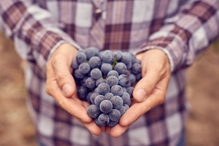 Farmers hands with freshly harvested blue grapes. Toned