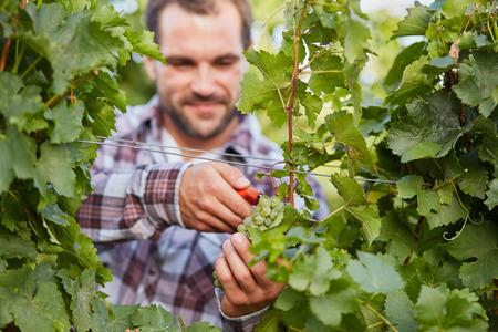 winemaker: Winemaker harvesting ripe green grapes in vineyard Stock Photo