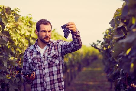 viñedo: Winemaker en viñedo recogiendo uvas azules, entonado. Foto de archivo