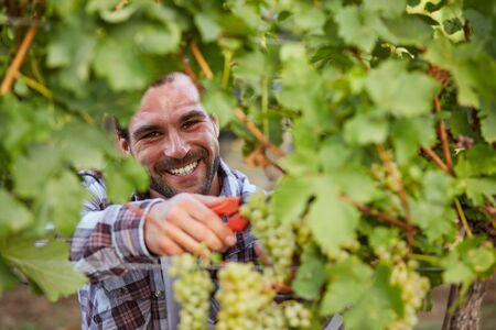 winemaker: Smiling winemaker harvesting green grapes in vineyard Stock Photo