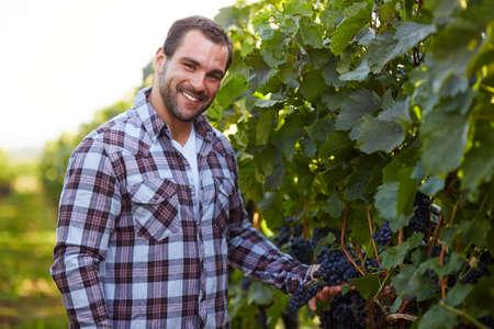 winemaker: Smiling winemaker in vineyard picking blue grapes Stock Photo
