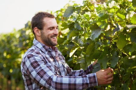 wineyard: Winemaker in the vineyard inspects vine leaves
