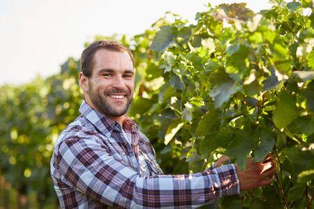 winemaker: Smiling winemaker in the vineyard inspects vine leaves
