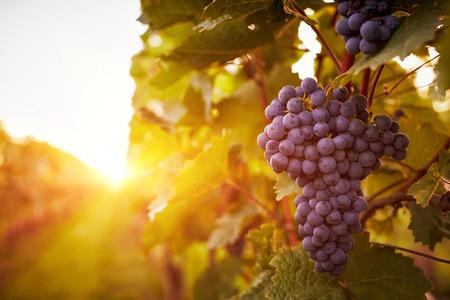 Vineyards au coucher du soleil dans la récolte d'automne. Toned