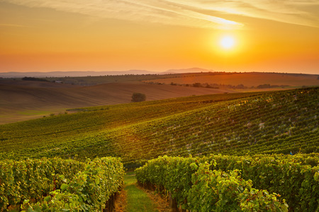 Vineyard at sunset with lens flare. Toned