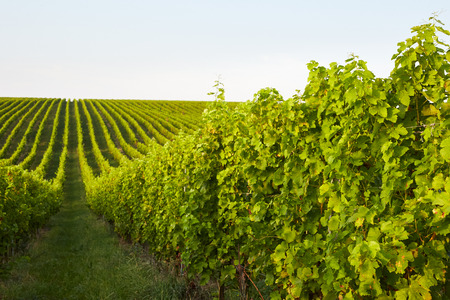 Beautiful rows of grape vines in Mikulov, Moravia Stock Photo