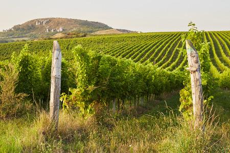 grape vines: Beautiful green grape vines in Mikulov, Moravia