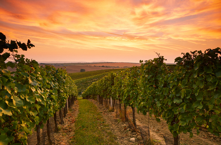Beautiful vineyard landscape in Moravia, toned at sunset