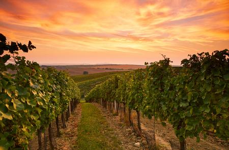 Mooi wijngaardlandschap in Moravië, dat bij zonsondergang wordt gestemd