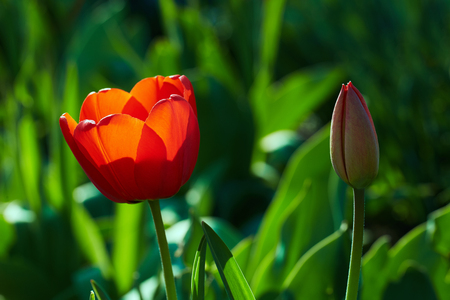 spring bud: Close up of red tulip and bud in spring