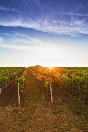 adelaide: Fields with vineyards at sunrise. Toned Stock Photo
