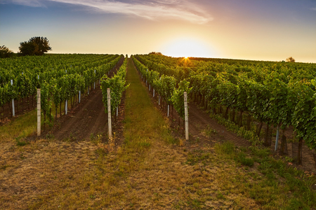 moravia: Vineyard at sunrise with lens flare. Toned Stock Photo
