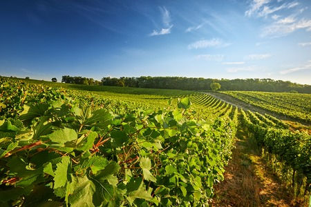 Vineyard in the South Moravian Region of the Czech Republic with rows of grapes and vines