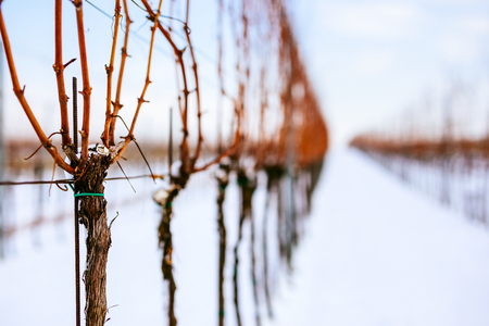Close up view of a strain of grapevine in a snowy vineyard