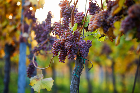 Bunch of pink grapes in the vineyard, autumn colors