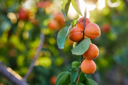 Branch of tree with ripe apricots Stock Photo