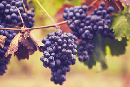 Branch of red wine grapes, toned image Imagens