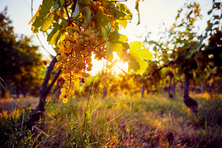 Yellow grapes in a vineyard at sunset, with sunshine in the background Imagens