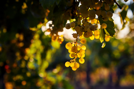 Close up of yellow grapes in a vineyard at sunset Imagens