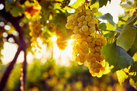 Yellow grapes in a vineyard at sunrise, with sunshine in the background
