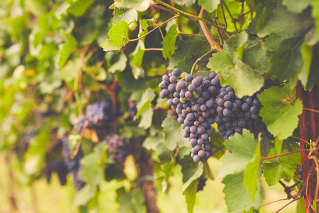 Branch of red wine grapes, toned Imagens