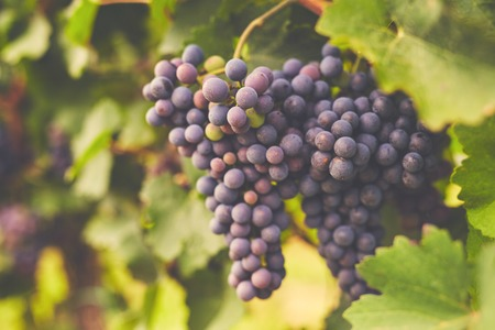 Branch of red wine grapes in the vineyard Imagens