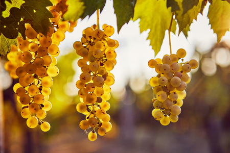 Three yellow grapes on a vineyard with sunlight in the background