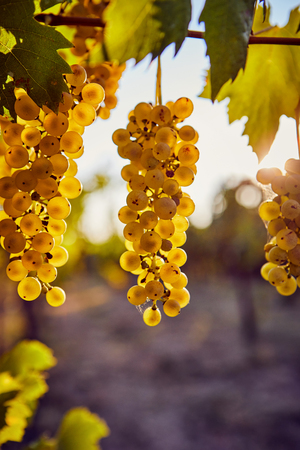 Ripe yellow grapes on a vineyard with sunlight in the background