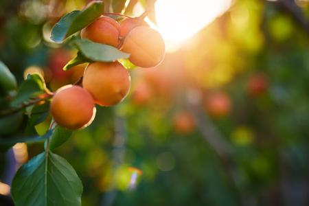 A bunch of ripe apricots on a branch at sunset Reklamní fotografie