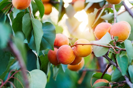 A bunch of ripe apricots on a branch at sunset Imagens