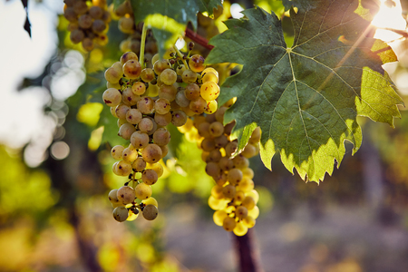 The yellow grapes on a vineyard with sunlight in the background