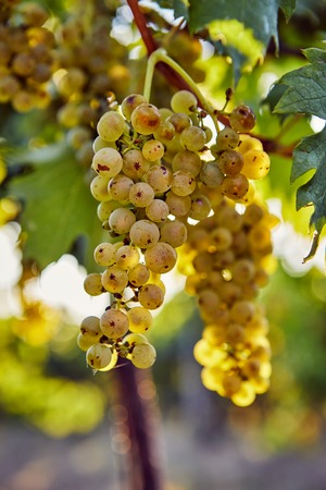 Ripe yellow grapes on a vineyard in a sunny day