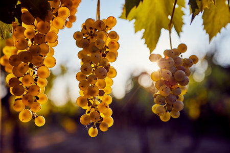 A bunch of yellow grapes hanging on a vineyard