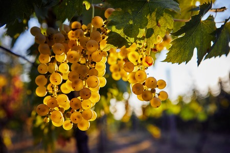 A bunch of ripe yellow grapes hanging on a vineyard