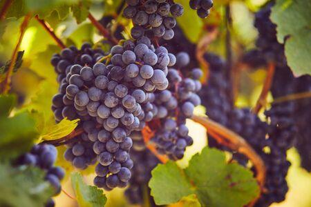 Blue grapes hanging on the vine, toned image Foto de archivo - 133537417