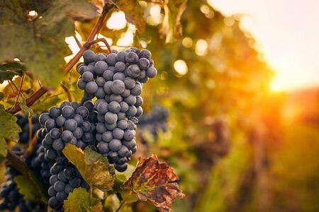 Blue grapes at sunset in autumn vineyard Foto de archivo - 133536871