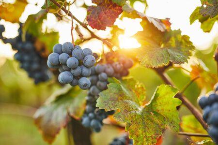 Blue grapes in sunshine on autumn vineyard Foto de archivo - 133536872