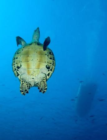 chelonia: Green turtle, divesite Batu bolong (Current city), E of Komodo, Indonesia