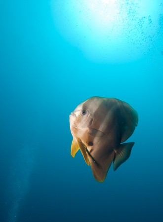 platax: Big teira batfish surrounded by clear water, Ari-Atoll, south Maldives