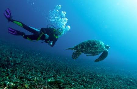 tortue verte: Piscine tortue verte (Chelonia mydas) et le plongeur, Gili Meno, Lombok, Indon�sie