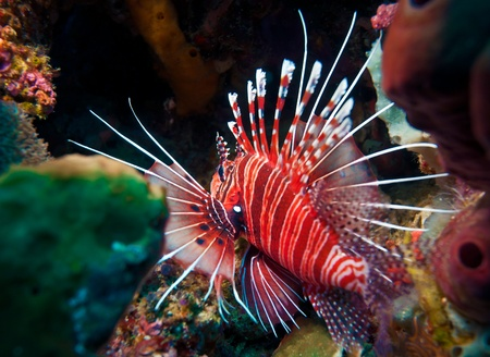 pterois: Lionfish (Pterois miles), divesite Batu bolong (Current city), E of Komodo, Indonesia Stock Photo