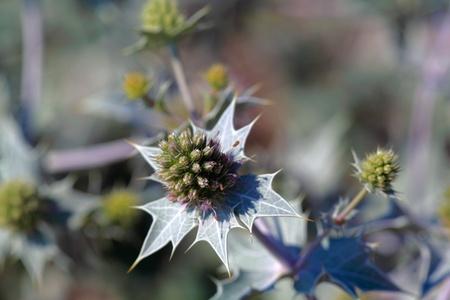 Plumeless Thistle (Carduus acanthoides)  Stock Photo - 10329239